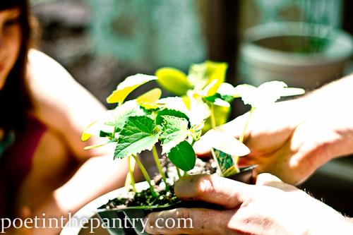 planting cucumbers