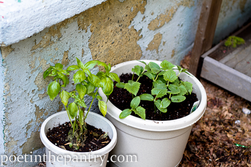 basil and cucumbers