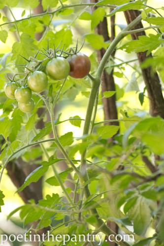 black cherry tomatoes growing in the bush