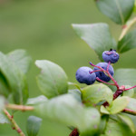 blueberry plant - poet in the pantry