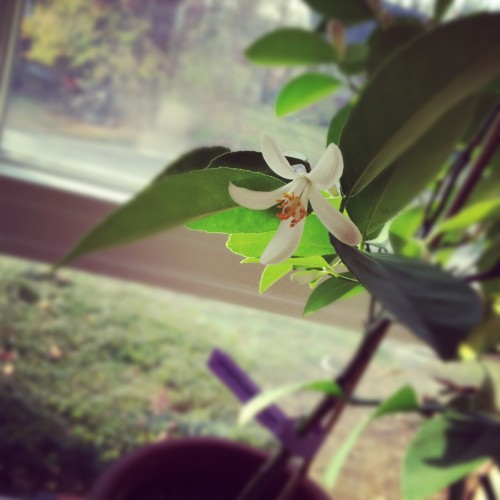first meyer lemon bloom - poet in the pantry
