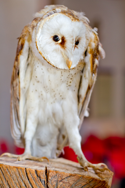 taxidermy owl