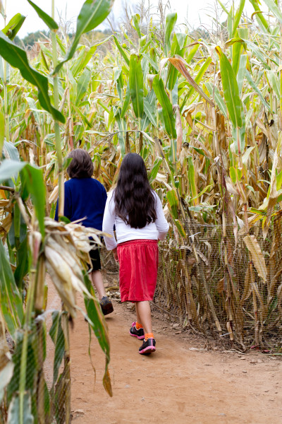 Lyman Orchards Corn Maze