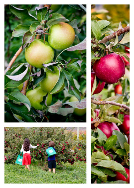 Lyman Orchards apple picking - poet in the pantry