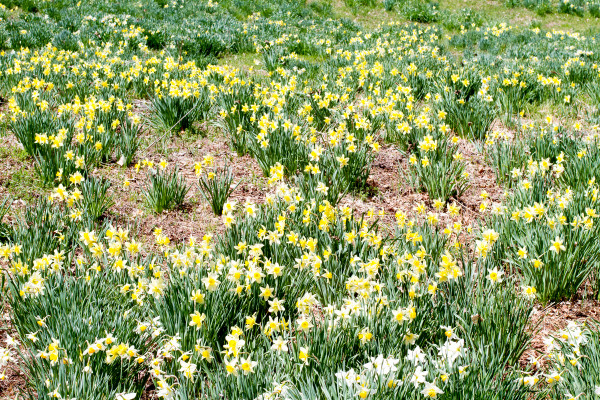 Laurel Ridge Daffodil Fields, Litchfield, Connecticut - Poet in the Pantry