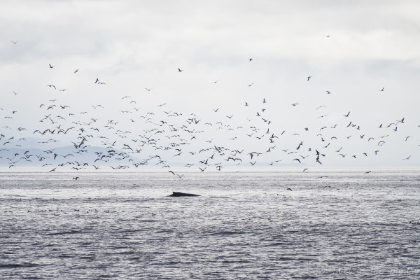 Another bait ball revealed by the flock of birds--and this time, a humpback whale
