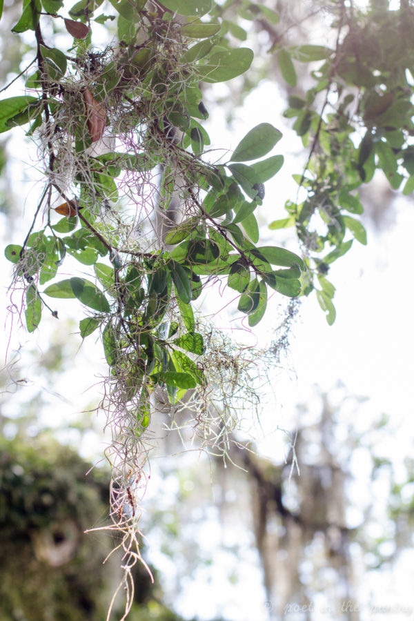 Dreamy Spanish moss hangs from one of the many sleepy oaks on Avery Island, transporting one to a world that can only come from fantasy.