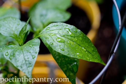 rain drops on a pepper plant
