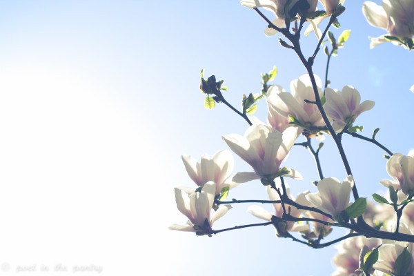 Magnolia trees in bloom in Central Park - Poet in the Pantry