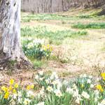 Laurel Ridge Daffodil Fields, Litchfield, Connecticut - Poet in the Pantry