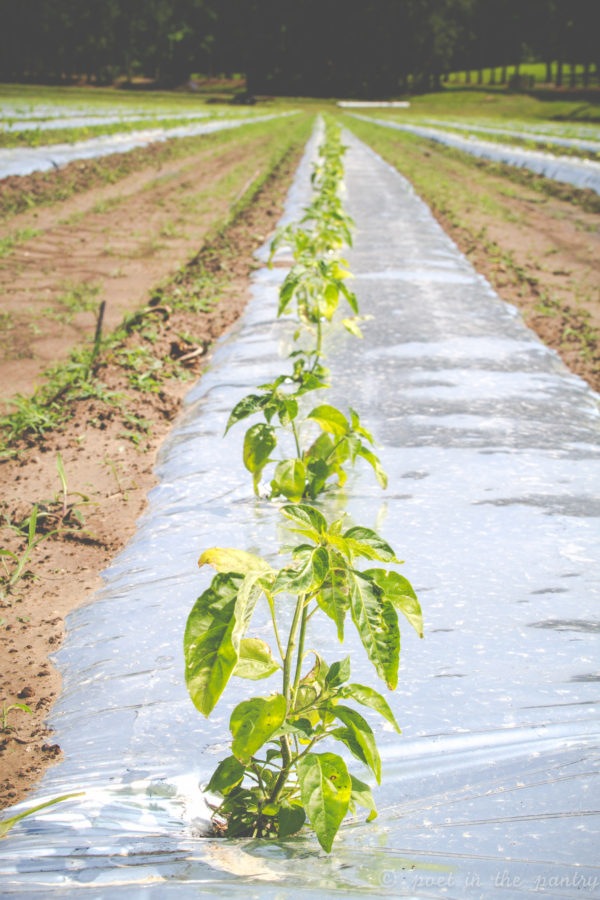 Tabasco pepper seedlings on Avery Island, Louisiana {sponsored post}